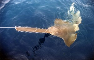 Yes JM there is a sawfish!