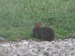Samantha the Swamp Rabbit