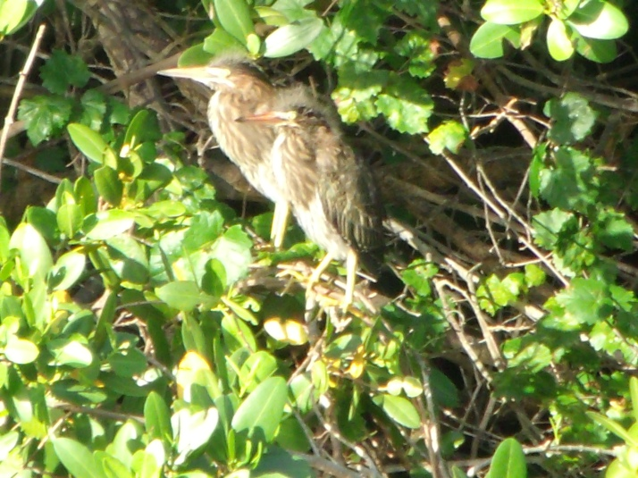 Two juvenile Night Herons just starting to show adult plumage.