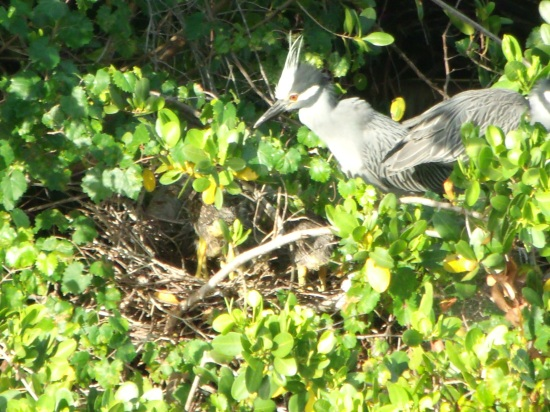 Mom heron getting ready to feed her babies