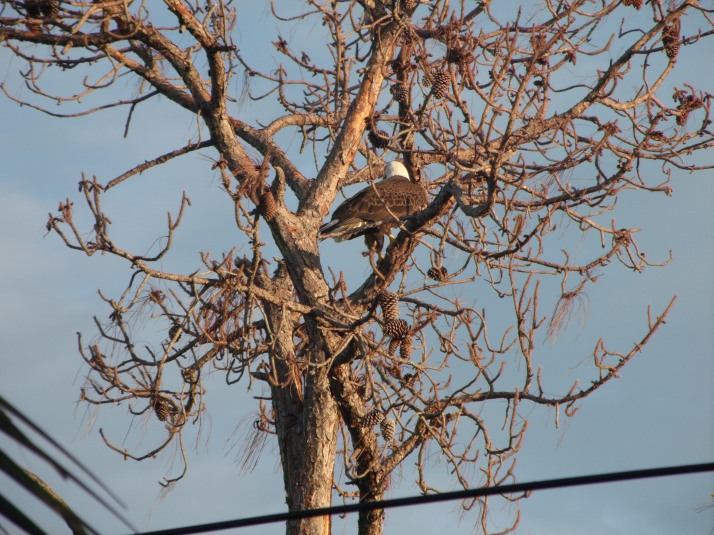 Our new neighbor is our national bird - the bald eagle.